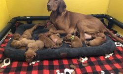 Lilly with her Vizsla Puppies